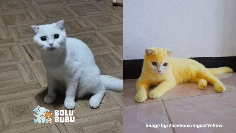 kucing putih yang berubah jadi kuning