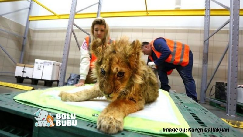 menyelamatkan anak singa