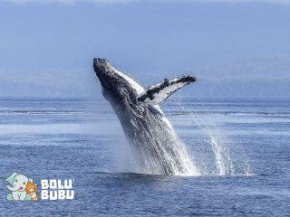 paus melompat ke udara