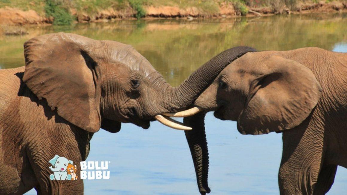 perburuan gajah