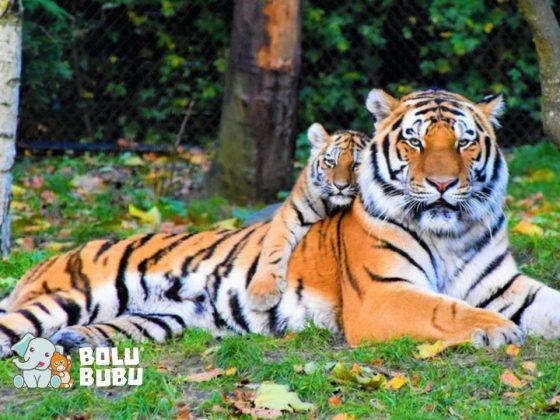 perburuan liar harimau