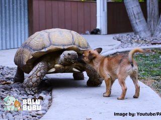 persahabatan kura-kura dan anjing