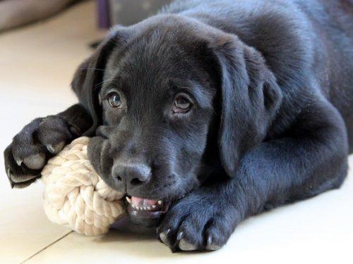anjing mengunyah mainan