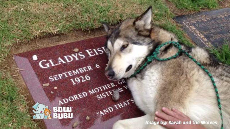 anjing menangis di atas makam