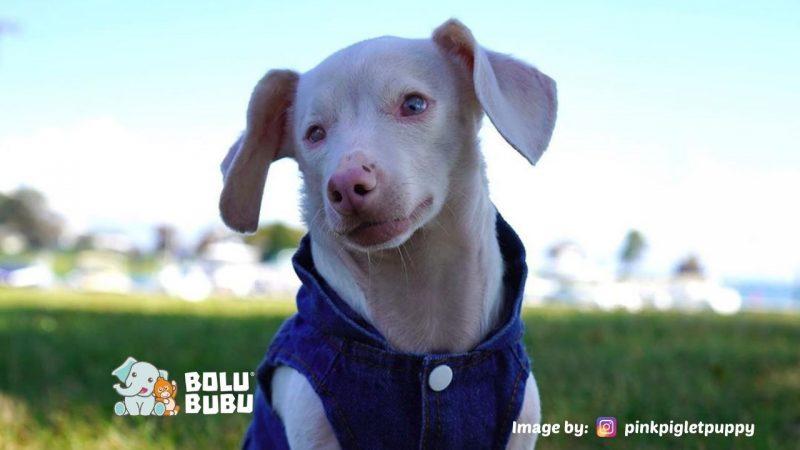 anjing pink yang terlahir buta dan tuli