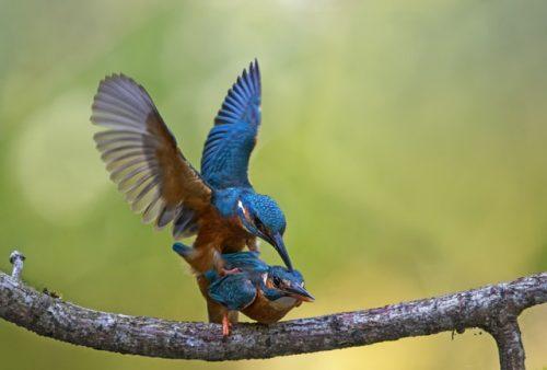 bluebirds di atas dahan pohon
