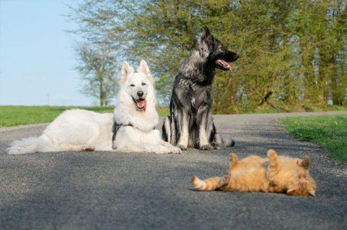 dua anjing dan kucing