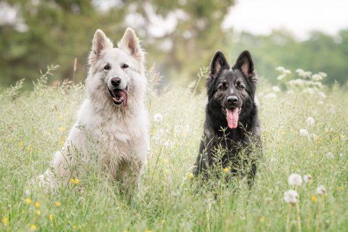 dua anjing hitam dan putih