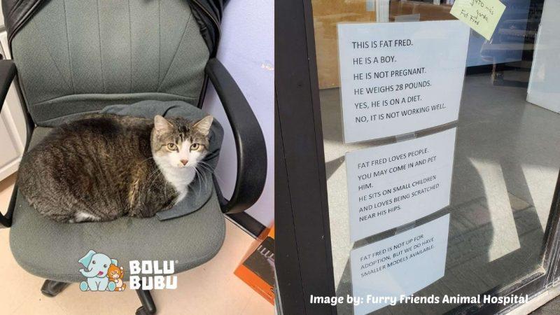 kucing gemuk yang dikira hamil