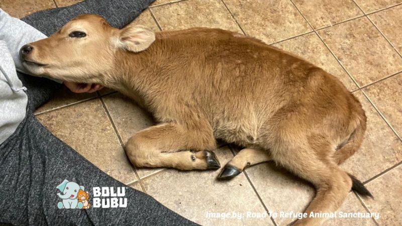 menyelamatkan bayi sapi yang dirantai