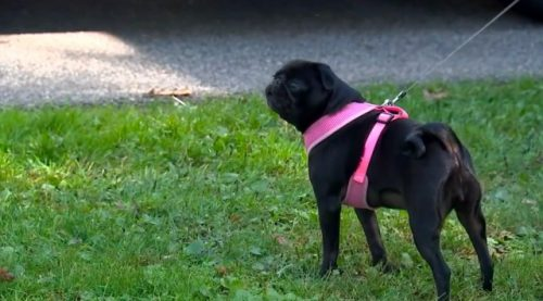 anjing pug hitam