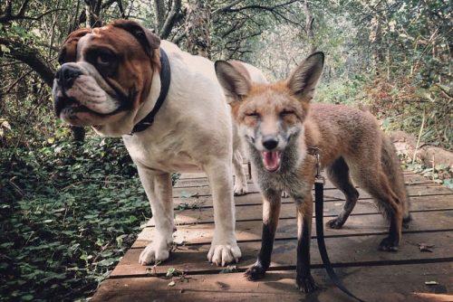 persahabatan anjing dan rubah