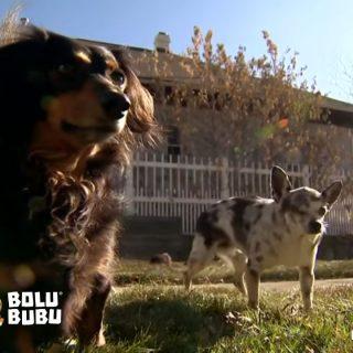 anjing mengejar singa demi menyelamatkan sahabatnya