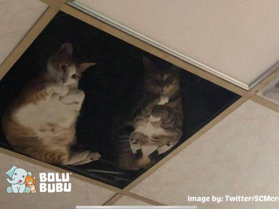 kucing mengawasi dari atas plafon