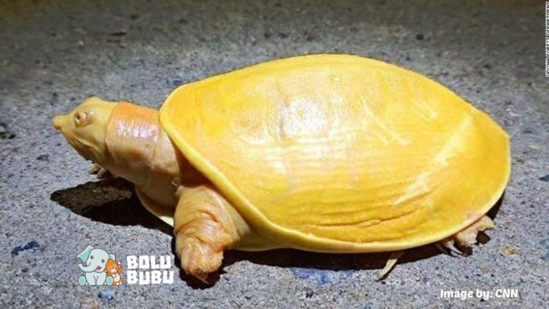 kura-kura albino berwarna kuning