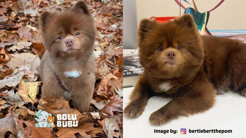 anak anjing yang terlihat seperti anak beruang