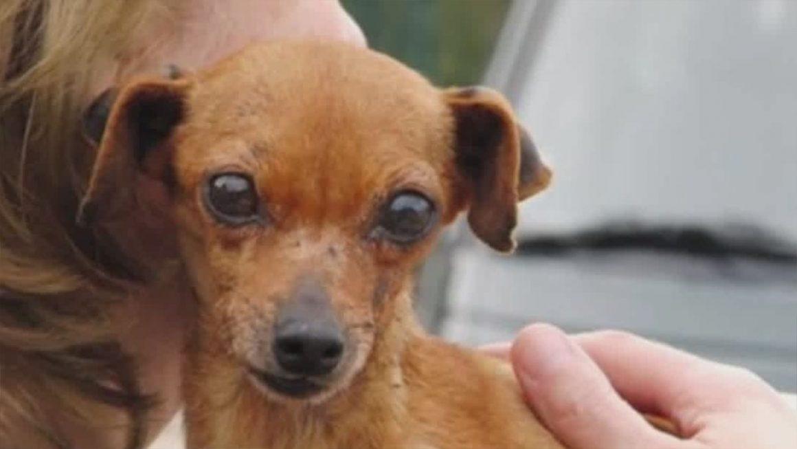 anjing cokelat korban ternak anjing