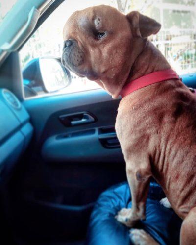 anjing pengidap tumor