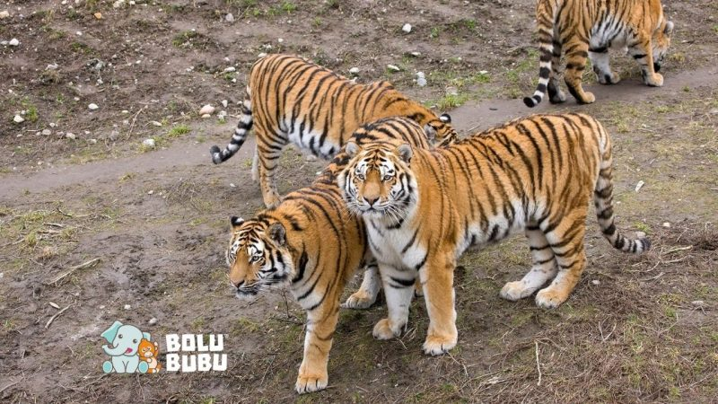 vaksin untuk harimau