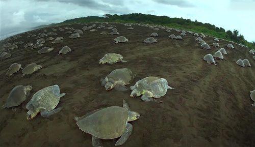 ribuan penyu bertelur di pantai Kosta Rika