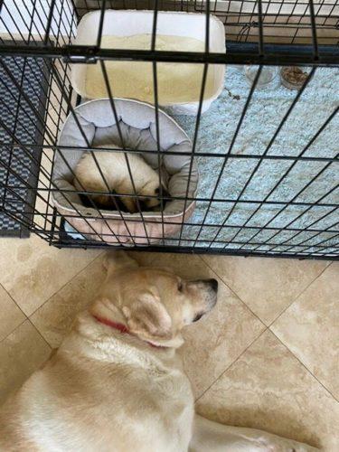 anjing labrador menemani bayi kucing