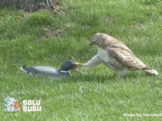 elang yang terkecoh dengan bebek plastik