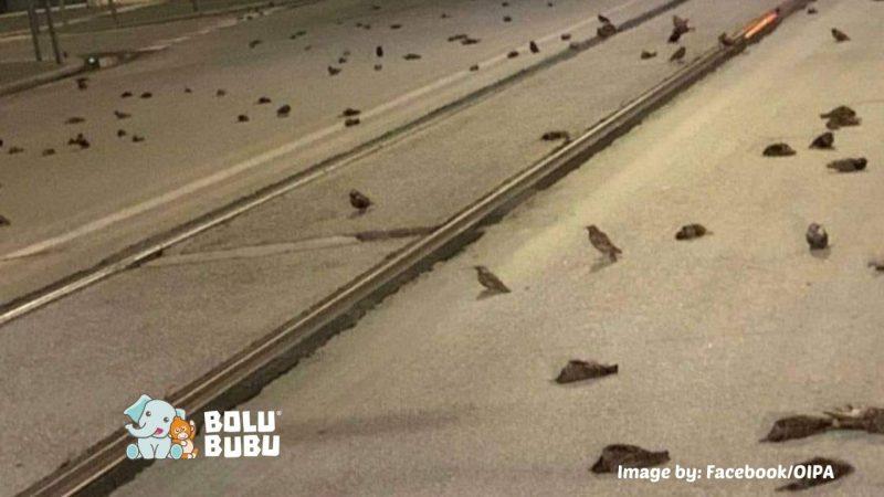 ratusan burung mati setelah pesta kembang api di malam tahun baru