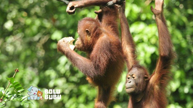 tantangan konservasi orangutan