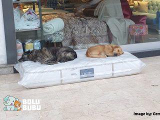 Anjing Liar Tertidur Nyenyak di Atas Kasur