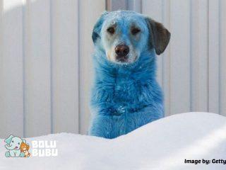 anjing berbulu biru
