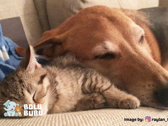 anjing yang mengasuh kucing