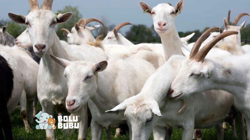 kambing dapat memahami emosi manusia