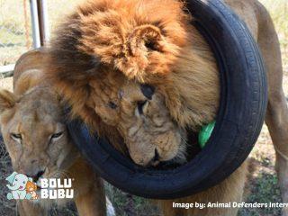 kedekatan dua singa setelah diselamatkan dari sirkus