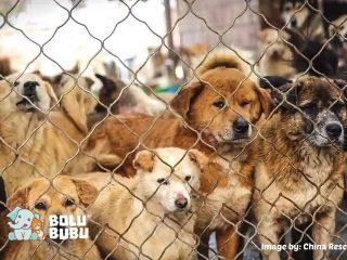 menyelamatkan ratusan anjing dari perdagangan daging anjing