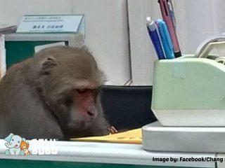 monyet menyelinap ke dalam kubikel kantor