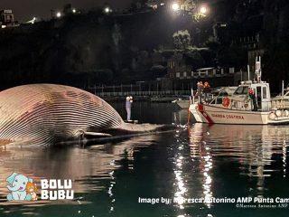paus raksasa terdampar di italia