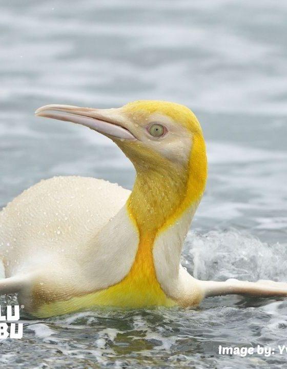 penguin kuning