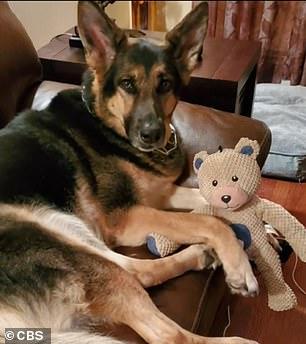 anjing german shepherd bernama sadie