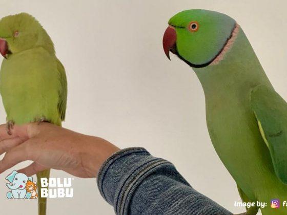 burung beo berbulu hijau
