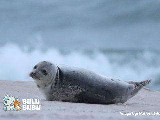 anjing laut dilepasliarkan setelah terdampar