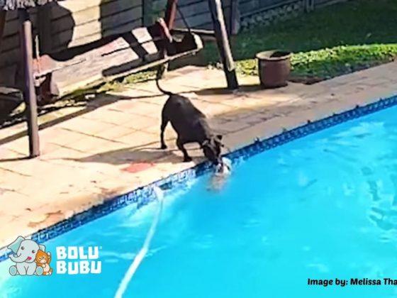 anjing menyelamatkan sesamanya yang nyaris tenggelam
