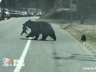 induk beruang menyeberang jalan