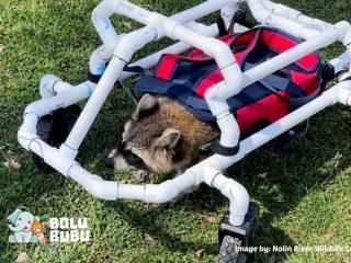 kursi roda untuk rakun