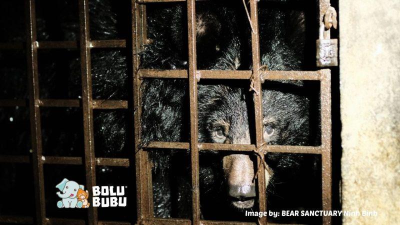 menyelamatkan beruang dari industri empedu