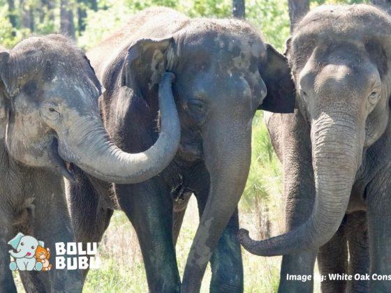 gajah di suaka