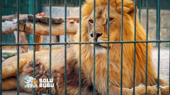 singa di penangkaran
