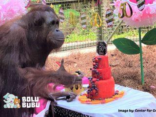 ulang tahun orangutan