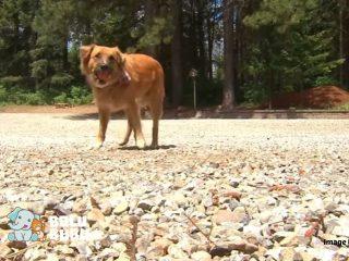anjing hilang yang ditemukan sedang menggembalakan domba