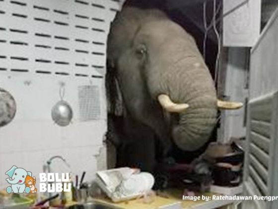 gajah masuk ke permukiman warga