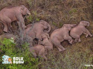 kawanan gajah tertidur